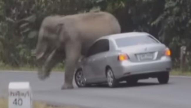 elefante salvaje coche